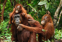 Borneo Orangutans including a female with a baby (Pongo pygmaeus), Camp Leaky, Tanjung Puting National Park, Kalimantan, Borneo, Indonesia.