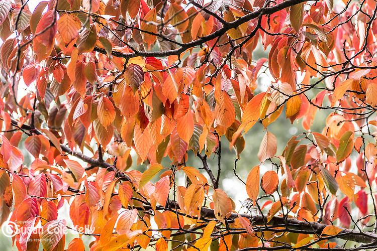 A screen of fall foliage in Boston Common, Boston, Massachusetts, USA