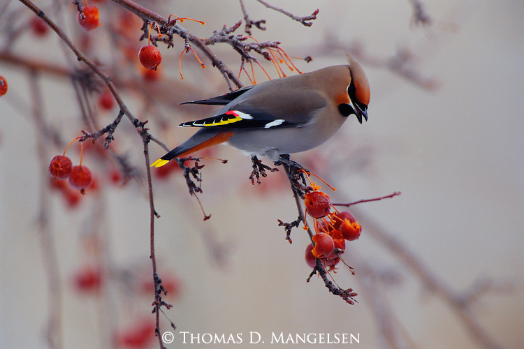 A Bohemian Waxwing perches on a Mountain Ash tree offering ripe red berries.