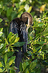 Ding Darling National Wildlife Refuge, Sanibel Island, Florida; an Anhinga bird standing on the branch of a mangrove tree, drying its wings in early morning sunlight, while preening it's feathers with it's beak