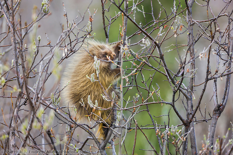 Porcupine in willow tree