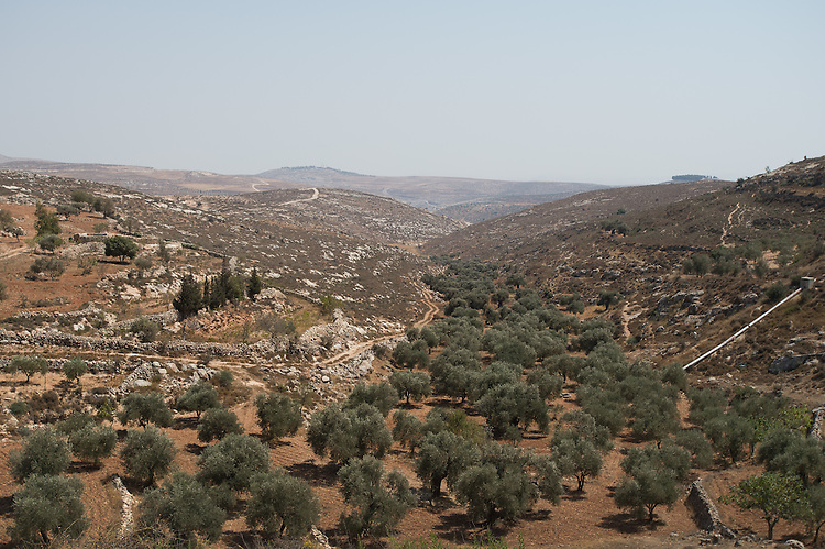 PALESTINE Taybeh, West Bank<br /> <br /> Taybeh Brewery Company:<br /> <br /> An olive grove at the area of the village.