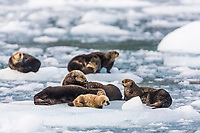 Sea otter and pup hauled out on floating ice bergs, Harriman Fjord, Prince William Sound, southcentral, Alaska.