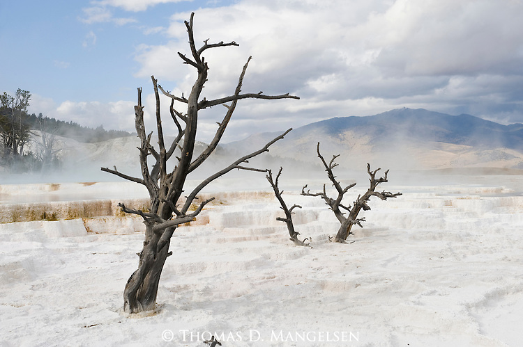 Steam rises behind dead trees at Mammoth Hot Springs in Yellowstone National Park, Wyoming.