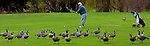 John Miles lines up a shot over the geese while on the course at Eastmoreland Golf Course.