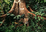 An ocelot emerges from hiding at the base of a buttressed tree