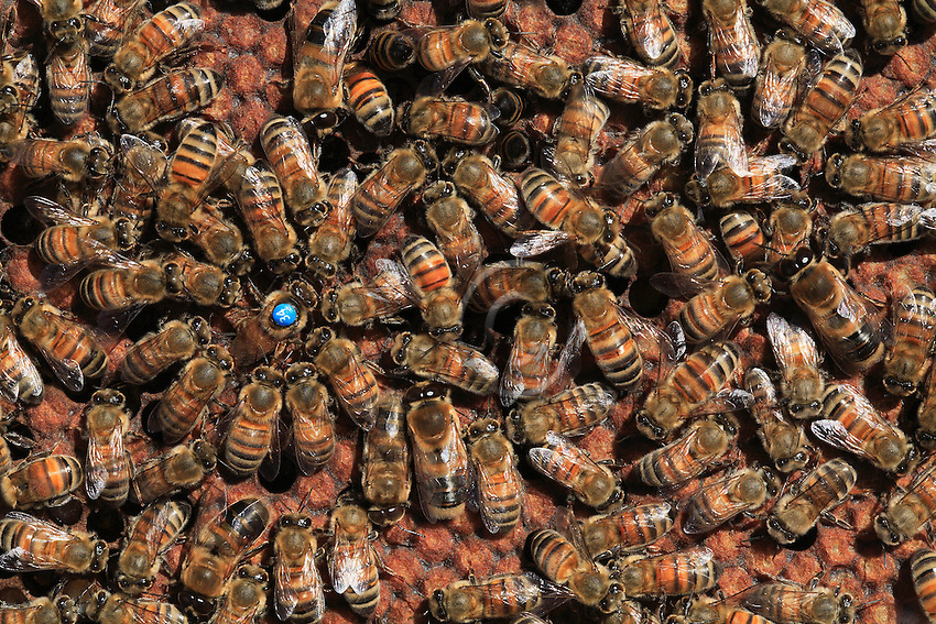 A queen, marked 34 by the beekeeper, is laying eggs surrounded by her retinue. A few bees lick her body and a large number of bees touch her with their antennaes. Marking queens allows beekeepers to identify queens, to know their age and their laying cycles.