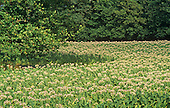 Tobacco Crop (Nicotiana tabacum) in full bloom  Bluegrass Region, Kentucky, USA.