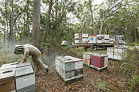 Christopher Brown, 41 years old, at an apiary in a forest of eucalyptus. Christopher continues to send packages of bees in March to Canada. He goes down with an eight-person team and buys bees from the beekeepers of Tasmania after the season, when the Aethina Tumida beetle is not present. This work last three weeks and losses during the shipping can be in the neighborhood of 10%, often when the pilot forgets to turn off the heating in the cargo hold.///Christopher Brown, 41 ans sur un rucher dans une forêt d'eucalyptus. Christopher continue d'envoyer des paquets d'abeilles en mars vers le Canada. Il descend avec une équipe de huit personnes et achète aux apiculteurs de Tasmania leurs abeilles après la saison ou le coléoptère Aethina Tumida n'est pas présent. Ce travail dure pendant trois semaines et les pertes pendant le transport par avion avoisinent les 10 %, souvent quand le pilote oublie d'enlever le chauffage dans la soute cargo.