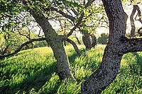 Oak trees, Novato, California