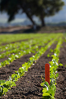 Rows of lettuce in agriculture farming trials, Salinas California.