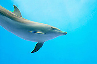 bottlenose dolphin, Tursiops truncatus (c)