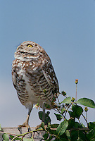 Burrowing owl, stands on wooden fence looking startled upward with interest