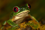 Red Eyed Tree Frog, Agalychnis callidryas, Costa Rica, sitting on leaf, tropical jungle, South America, portrait, large eyes.Central America....