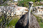 Africa, South Africa, Cape of Good Hope.  Adult female wild ostrich.