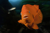 The Garibaldi (Hypsypops rubicundus) is the State Fish of California, USA.