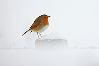 Robin puffed up against the cold perches by a snowy hillside in The Cotswolds, UK