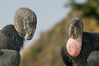 Young and old California Condors