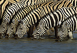 Burcell's zebras drink en masse at a desert waterhole, Namibia
