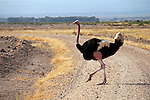 Africa, Kenya, Amboseli. Male Maasai Ostrich at Amboseli.