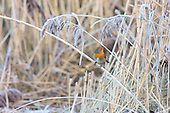 Robin (Erithacus rubecula) perched on snow covered Phragmites reed, Lancashire, December. The ground is frozen in the big freeze, and food is scarce. Not normally seen among reeds. The Robin is Britain's unofficial national bird, and can readily be trained.