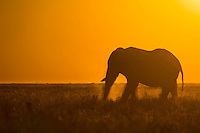 Lone elephant bull on open plain at sunset