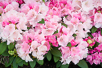 Rhododendron 'Doc' pink flowering shrub in spring