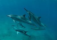 Small pod of dolphins swimming close to a diver at red hill Maui Hawaii.<br /> Delfines jugando y saltando en las aguas de Maui,Hawaii.