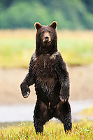 A curious brown bear (Ursus arctos) stands up on its hind paws to get a better view near a salmon stream in Windfall Harbor of Admiralty Island National Monument in the Tongass National Forest of Southeast Alaska.  Summer.  Morning.