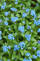Myosotis scorpioides Forget me not blue flowers