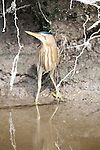Little Bittern, Ixobrychus minutus, Lesvos Island, Greece, common spring migrant, in reeds at edge of stream, hidden, camouflaged , lesbos