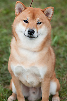 Shiba Inu sitting and waiting his turn to compete in an AKC sanctioned conformation event at a dog show.