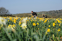 Ron and Adrian Scamp working in the daffodil fields