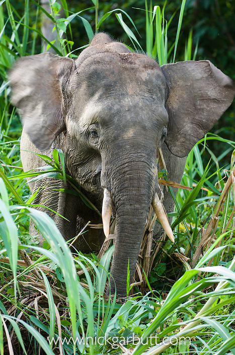 Young male Bornean Pygmy Elephant (Elephas maximus borneensis) feeding on river-side vegetation. Kinabatangan River, Sabah, Borneo.