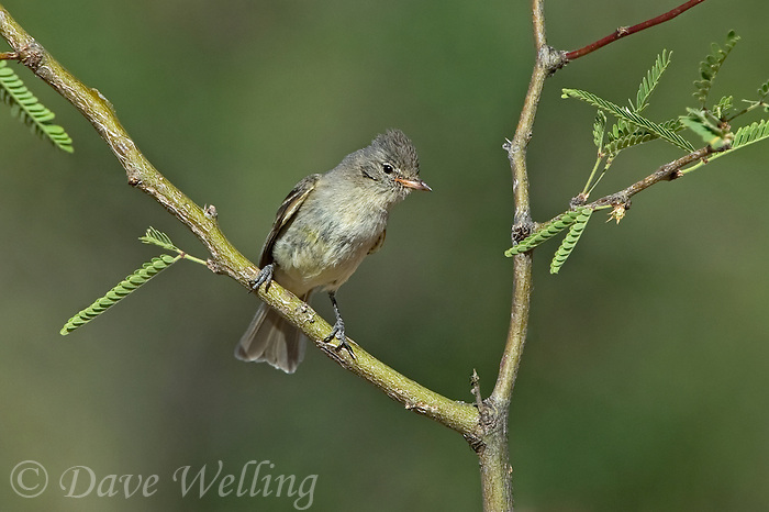 584750006 a wild northern beardless tyrannulet camptostoma imberbe perches on a mesquite branch in the madera grasslands green valley arizona united states