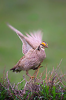 572110250 a wild lesser prairie chicken tympanuchus pallidicintus displays and struts on a lek on a remote ranch near canadian in the texas panhandle
