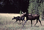 cow moose and calf in Yellowstone National Park