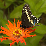 Short tailed black swallowtail.