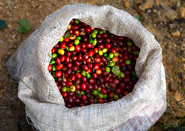 Full bag of hand picked Arabica coffee cherries waiting to be picked up from the Tarrzau Valley coffee region in Costa Rica.