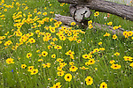 Coreopsis against a split rail fence, Wildflowers, in Washington County, Texas, spring.