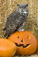 Great-horned Owl sitting on a JackOlantern