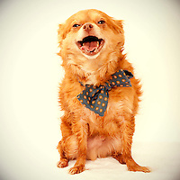 A funny tan chihuahua laughs while having his photo taken