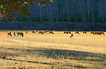 Elk Herd at Sunrise, Madison River Meadow, Yellowstone National Park, Wyoming