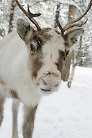 Reindeer in winter snow.