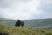 Musk Ox (Ovibos moschatus) dominant bull approaching a female during mating season, Dovrefjell National Park, Norway
