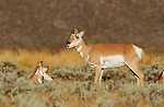 Pronghorn Females, Blacktail Plateau, Yellowstone National Park, Wyoming