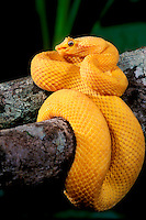 489184007 a captive brilliant yellow eyelash viper bothreichis schlegalii lays coiled on a tree limb sensing the environment with its tongue - species is native to southern mexico central america and south america