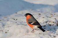 Gimpel, Dompfaff, Männchen, an der Vogelfütterung, Fütterung im Winter bei Schnee, frisst Körner am Boden, Winterfütterung, Pyrrhula pyrrhula, Eurasian bullfinch, Bouvreuil pivoine