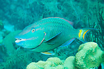 Bonaire, Netherlands Antilles; a Stoplight Parrotfish swims over the coral reef , Copyright © Matthew Meier, matthewmeierphoto.com All Rights Reserved