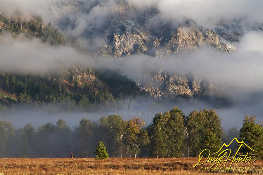 Bull Elk, hanging fog, Grand Tetons, Grand Teton National Park
